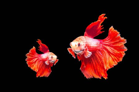 dragon swim: red fighting fish isolated on black background