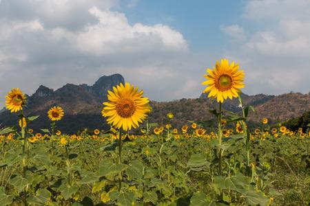 backdrop: Sunflower garden, mountain backdrop
