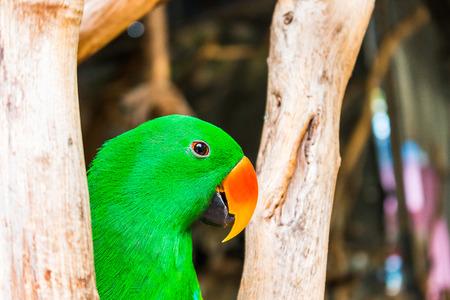periquito: loro verde hermosa Foto de archivo