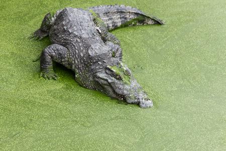 Crocodiles In A Crocodiles Farm
