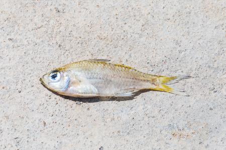 Dried fish die in hot summer