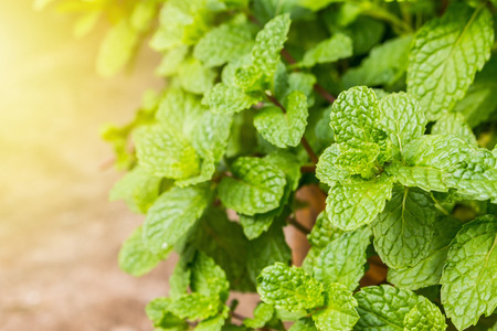 Peppermint  leaf green plants with aromatic properties of strong teeth and fresh ivy as a ground cover plant in thailand