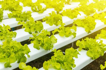 Hydroponic vegetables growing. Fresh organic vegetable in hydroponic vegetable field