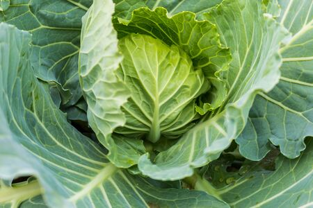 Organic Cabbage. Fresh Green Head of Cabbage in the garden
