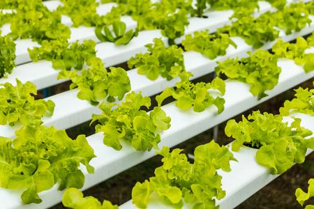 Hydroponisches Gemüse wächst. Frisches Bio-Gemüse im hydroponischen Gemüsefeld