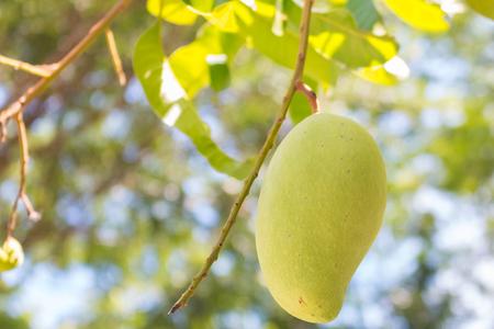 Mango (Nam Dok Mai) on the tree in Thailand