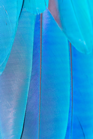 feathers of blue and green macaw parrot for pattern background