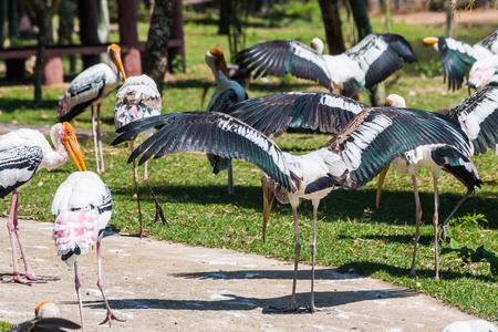 Painted Stork wings spread (Mycteria leucocephala) 版權商用圖片
