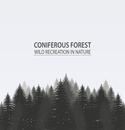 misty forest: Coniferous pine forest. Camping