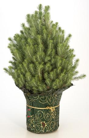 Pine Plant Reklamní fotografie