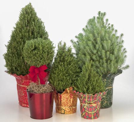 Christmas Evergreen plants