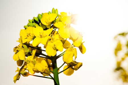 macrophotography: Close up, macro, rape field plant with sun halo Stock Photo