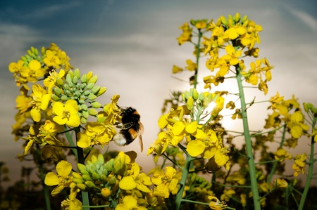 Close up, macro, bumblebee in rape field plant with sun halo photo