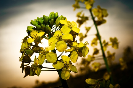 macrophotography: Close up, macro, rape field plant with sun