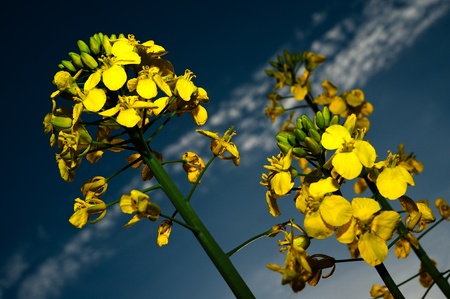 Close up, macro, rape field plant photo