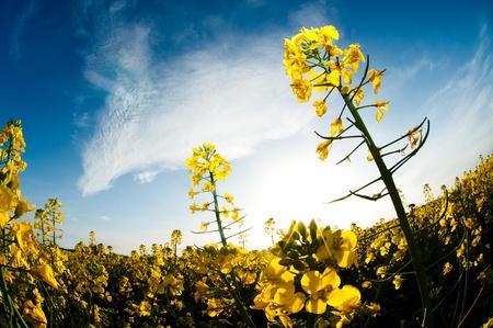 rape plant: Fisheye view of rape field with sun