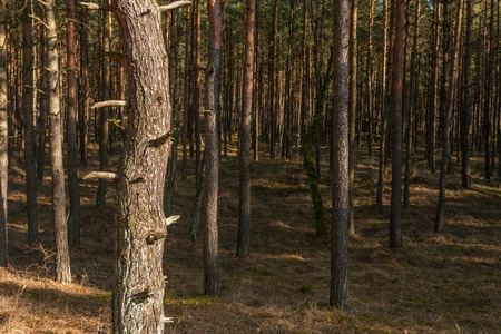 Pine trunks in a forest