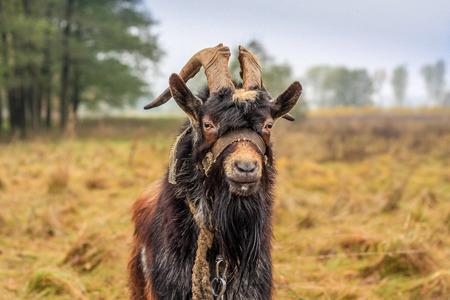 animal heads: Goat graze in the meadow
