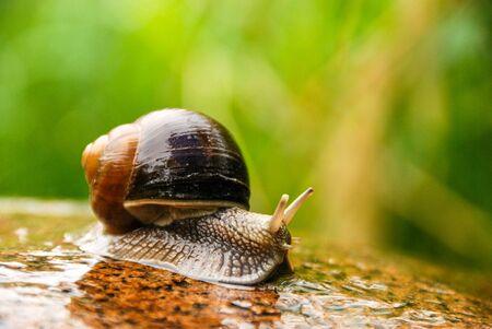 Big snail crawling on a stony surface. 스톡 콘텐츠