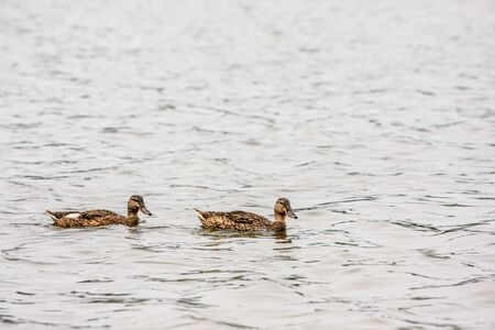 Two brown ducks swim on water surface of pond at summer day 스톡 콘텐츠
