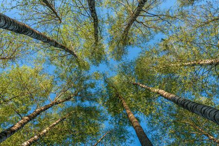 Trees in the forest - the crown of leaves against the sky. 스톡 콘텐츠