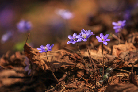 Close detail of small violet spring flower. Amazing time of the year when air is filled with freshness and sun rays are warming us after cold winter.