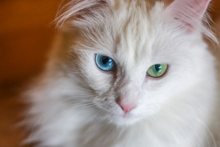 White cat with different colored eyes, unusual.