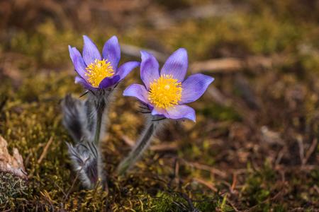 Wild Spring Flowers Pulsatilla Patens. Flowering Plant In Family Ranunculaceae.