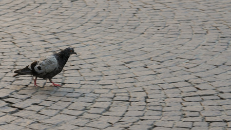 Lonely pigeon goes on the sidewalk. Day.
