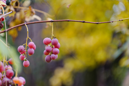 bunches: Two bunches of grapes hanging on a branch