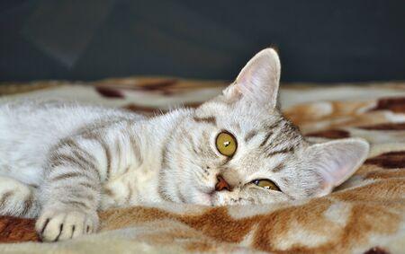 pussy cat: Scottish tabby cat breed lying on blanket