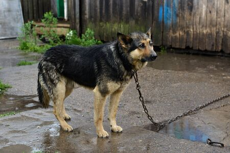 German Shepherd dog on the chain wet in the rain