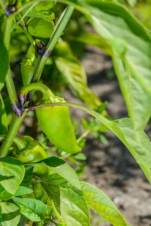 bush pepper: Young green pepper on the bush in summer