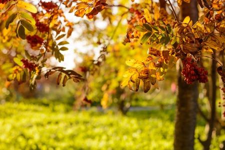 sol radiante: serbal en el parque bajo el sol en oto�o Foto de archivo