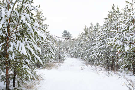 traveled: Pine forest covered with crisp white snow