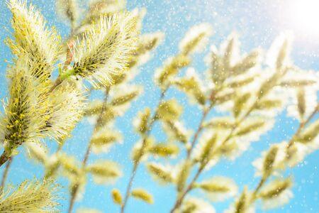 Fioritura ramo di un salice contro il cielo blu
