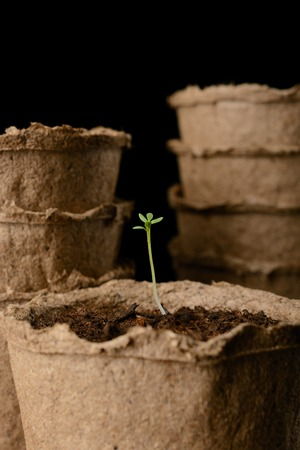 turba: Peat pots of seedlings on a black background
