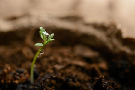 turba: Brote verde en el suelo en una macro olla de turba