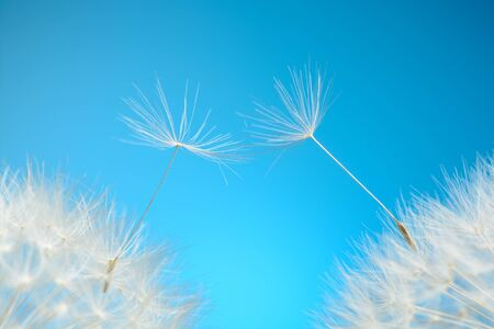 Dandelion seeds fly away Stock Photo