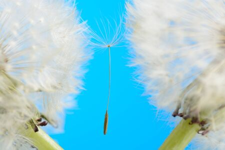 Two dandelions on blue background Stock Photo