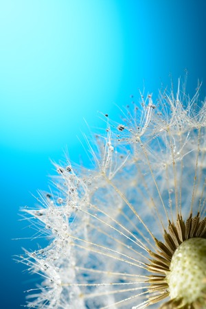 Drops of dew on a dandelion on blue background Stock Photo