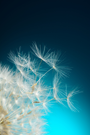 Dandelion seeds fly away Stok Fotoğraf