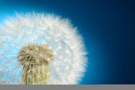Dandelion on blue background Stock Photo