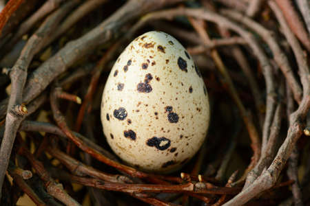 From above shot of quail egg lying in twig nest