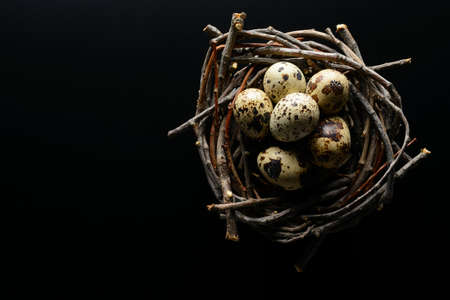 Easter background. Quail eggs in nest of twigs on a black background