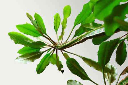 Houseplant Euphorbia. Succulent plant. Horizontal orientation, bottom view Banco de Imagens - 151090633