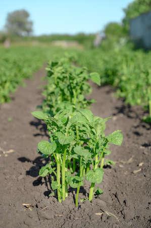 Young green potato bushes grow in the garden. Sunny day. Vertical orientation Banco de Imagens - 151090643