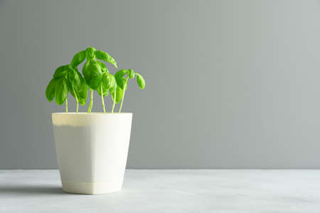 Fresh green basil grows in a white pot. Light gray background. Eco food and home garden concept. Copy space.