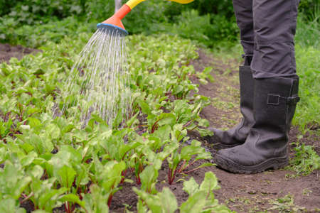 An unrecognizable man in boots watering beets in a vegetable garden. Daytime. Digital detox concept.