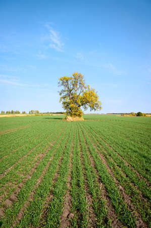 Picturesque green field with winter crops and yellow autumn tree against the blue sky background. Fall landscape